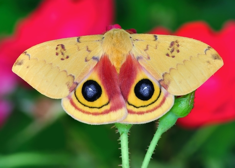 io_moth