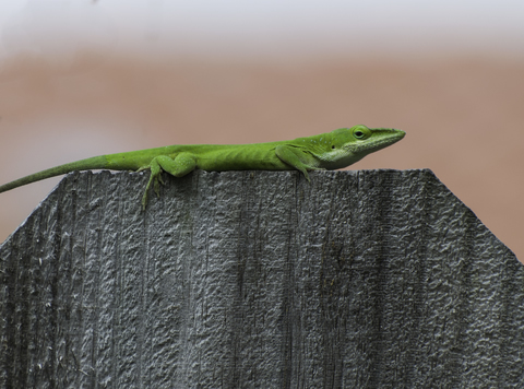 green-anole1